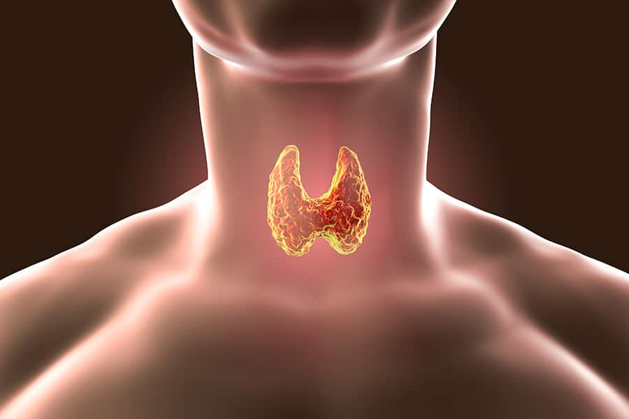 The thyroid rendered in 3D